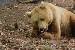 Bear in Pirin mountain